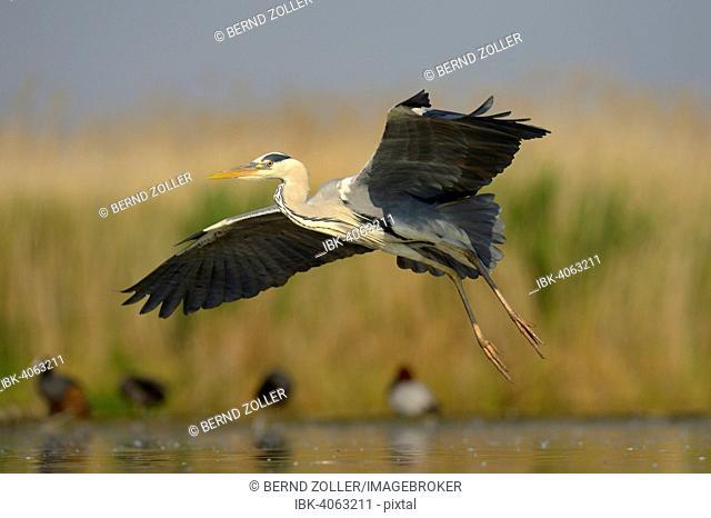 Grey Heron (Ardea cinerea), adult bird in flight, Kiskunság National Park, Southeastern Hungary, Hungary