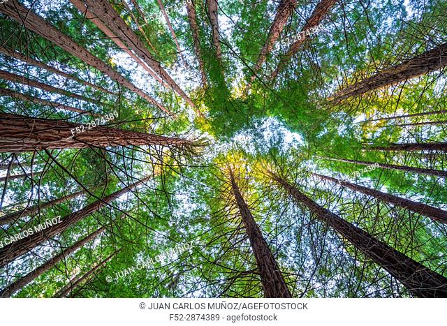 SEQUOIA - SEQUOYA (Sequoia sempervirens) is the sole living species of the genus Sequoia in the cypress family Cupressaceae (formerly treated in Taxodiaceae)