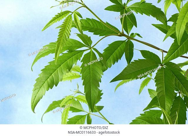 Cut-Leaf Chastetree
