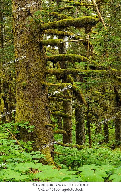Old Growth Pine Forest Kodiak Island Alaska
