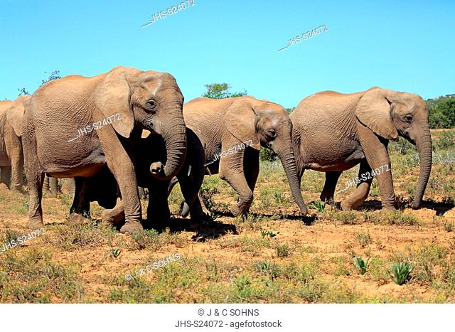 African Elephant, (Loxodonta africana), adults walking group searching for food, Addo Elephant Nationalpark, Eastern Cape, South Africa, Africa