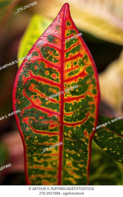The colorful leaf of a croton plant, Florida, USA