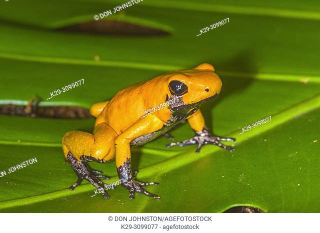 Golden poison frog (Phyllobates terribilis) Orange black foot, Understory Enterprises, Captive raised, Native to: Colombia