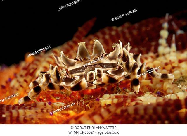 Zebra Crab in Fire Sea Urchin, Zebrida adamsii, Asthenosoma varium, Alor, Indonesia