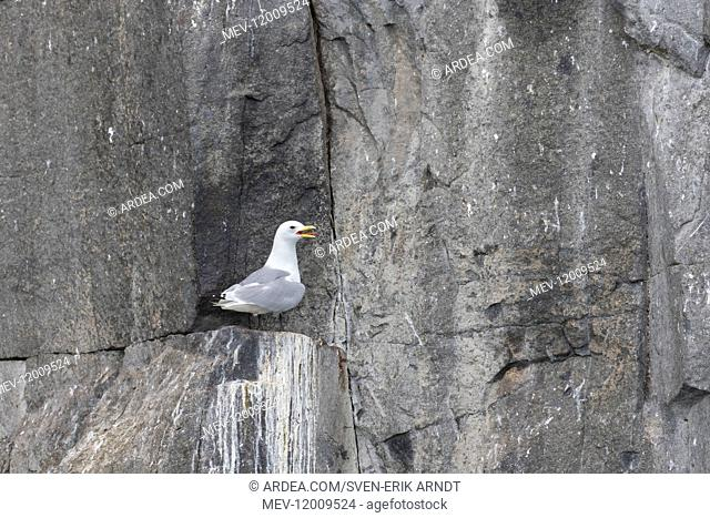 Black-legged Kittiwake - adult bird on breeding cliff - Norway