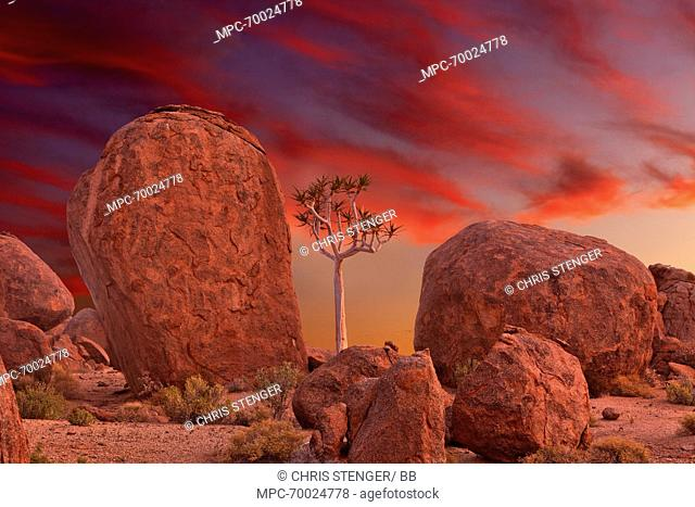 Quiver Tree (Aloe dichotoma) amid boulders at sunset, Richtersveld Transfrontier National Park, South Africa