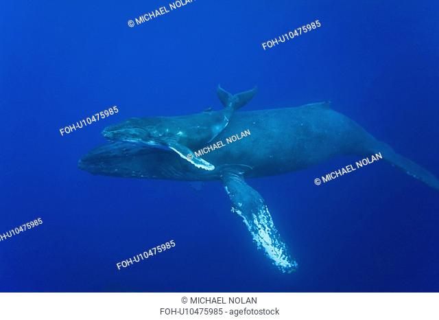 Humpback whale Megaptera novaeangliae underwater in the AuAu Channel between the islands of Maui and Lanai, Hawaii, USA. Each year humpback whales return to...