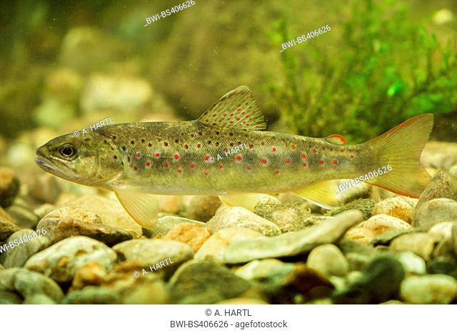 brown trout, river trout, brook trout (Salmo trutta fario), indigenous form from the river Isen, Germany, Bavaria, Isental