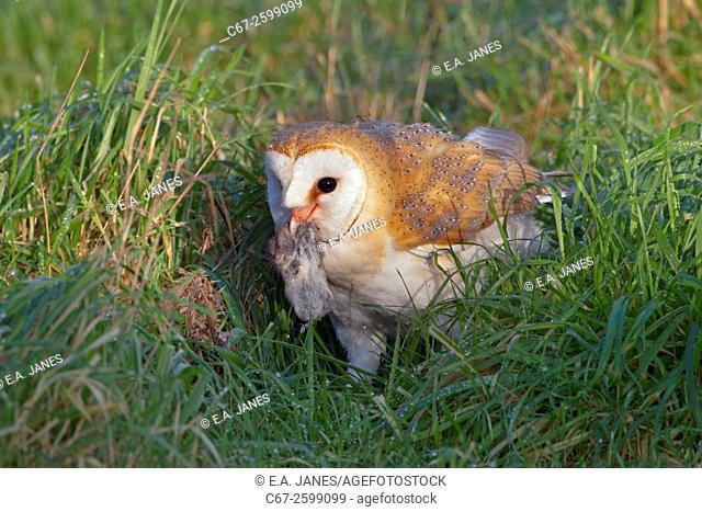Barn Owl Tyto alba on ground hunting voles