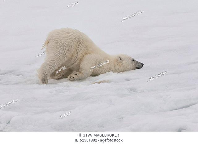 Polar bear cub (Ursus maritimus) stretching, Svalbard Archipelago, Barents Sea, Norway, Arctic