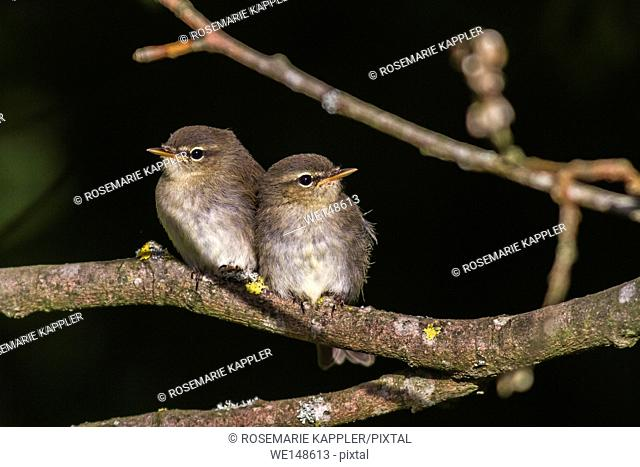 Germany, saarland, homburg -Two common whitethroats on a branch