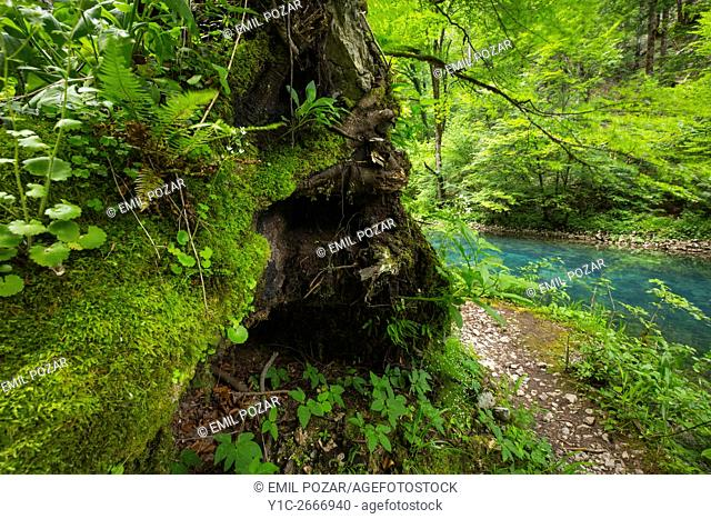 Forest scenic tree near small river Kupa near village Razloge in Croatia