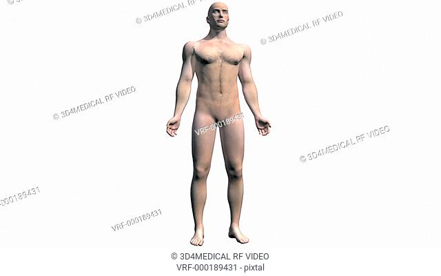 Animation depicting a rotation around the human body showing the muscular and skeletal systems. As the camera rotates around the body the skin fades down to...