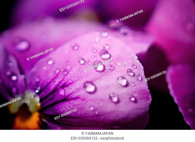 Close up Water drops on Viola flowers in japanese garden
