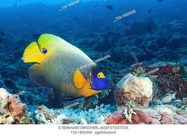 Yellowmask Angelfish, Pomacanthus xanthometopon, South Male Atoll, Maldives