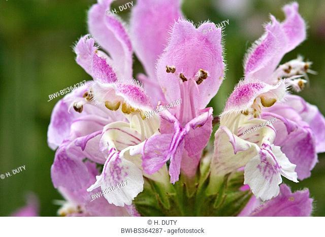 Lamium garganicum (Lamium garganicum subsp. striatum), flowers