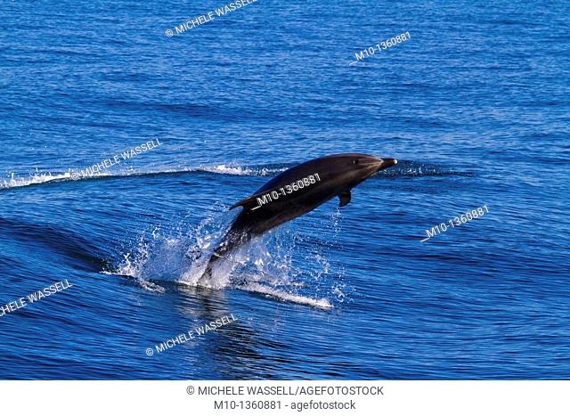 The backside of an Off-shore Bottlenose Dolphin as it breaches
