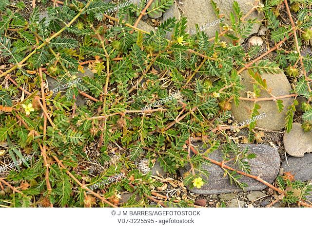 Devil's eyelashes or puncturevine (Tribulus terrestris) is creeping perennial herb widely distributed around the World. This photo was taken in Cap Creus...