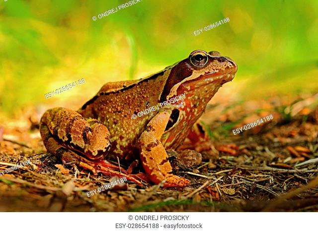 Frog, Rana arvalis, in the grass, nature habitat, Czech Republic