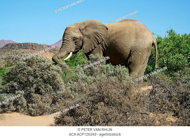 Desert-adapted elephant (Loxodonta Africana) is an African Bush Elephant with special adaptations to survive in the deserts of Africa
