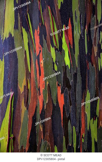 Bark of the Rainbow Eucalyptus (Eucalyptus deglupta); Hawaii, United States of America