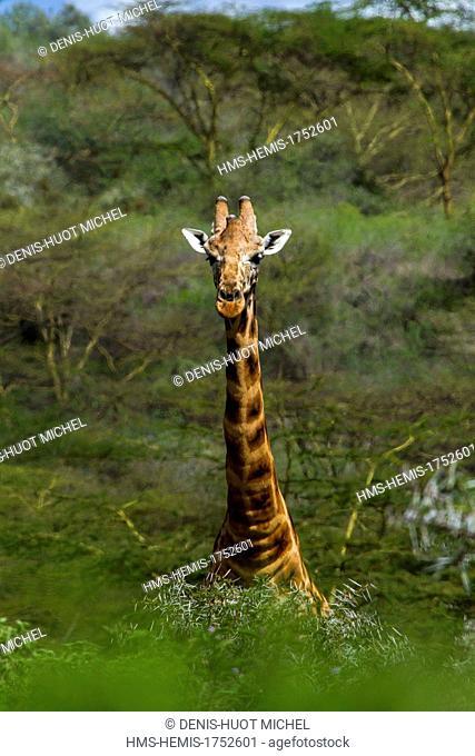 Kenya, Nakuru national park, Baringo giraffe (Giraffa cameleopardalis)