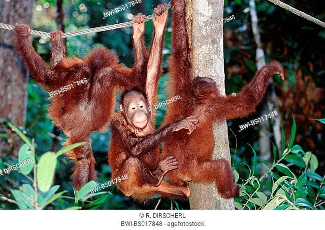 orang-utan, orangutan, orang-outang (Pongo pygmaeus), young playing, Malaysia, Sabah, Sepilok