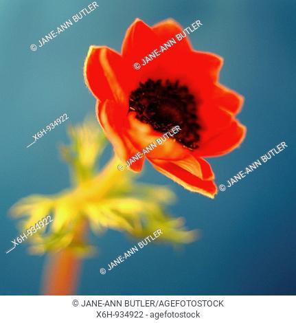 vibrant still life anemone coronaria-poppy anemone-fine art photography © Jane-Ann Butler Photography JABP301 RIGHTS MANAGED