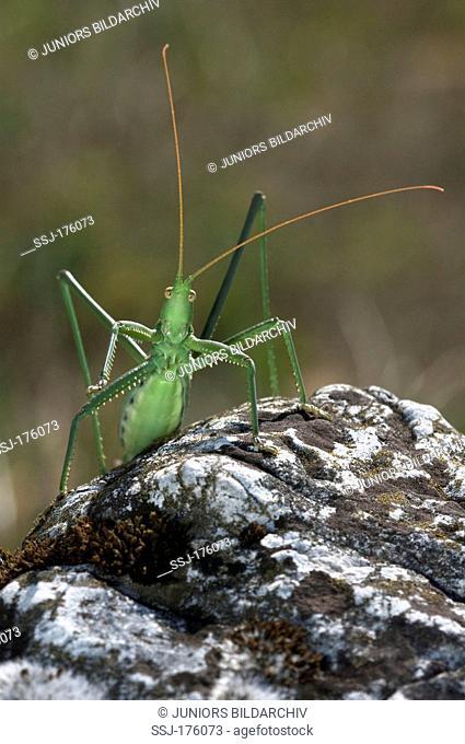 Predatory Bush Cricket, Spiked Magician (Saga pedo) on a rock