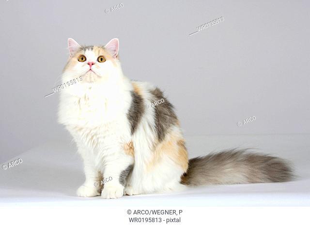 British, Longhair, Cat
