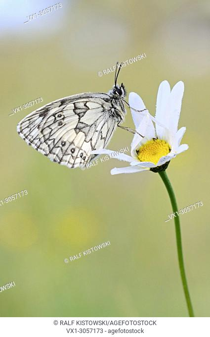 Marbled White ( Melanargia galathea ), male butterfly, resting on a blossoming flower ( Oxeye daisy ), wildlife, Europe