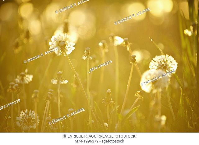 Dandelions backlit at sunrise, Grand Teton National Park, Wyoming, USA