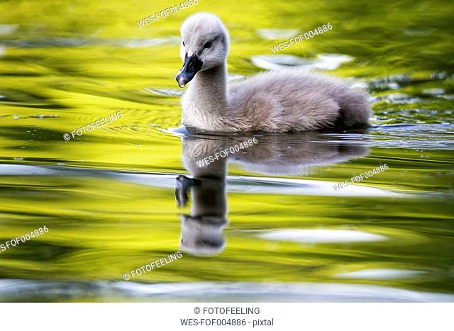 Europe, Germany, Bavaria, Swan with chick swimming in water