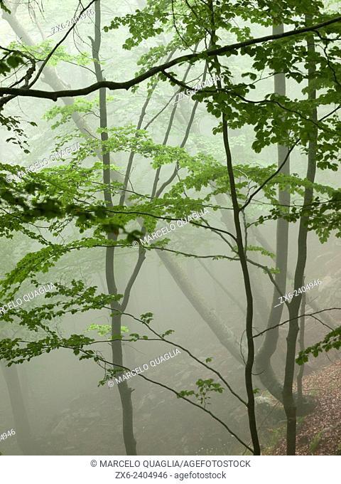 Foggy springtime beech forest (Fagus sylvatica). Montseny Natural Park. Barcelona province, Catalonia, Spain