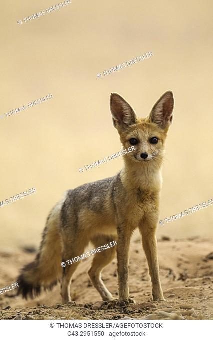Cape Fox (Vulpes chama). Alert at its burrow. Kalahari Desert, Kgalagadi Transfrontier Park, South Africa