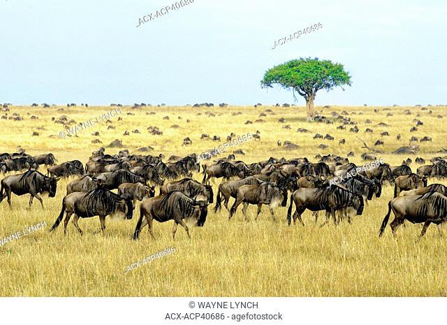 Common wildebeest Connochaetes taurinus in migration, Masai Mara Reserve, Kenya, East Africa