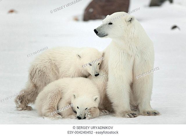 Polar she-bear with cubs