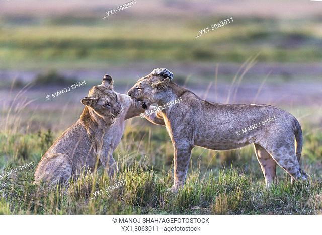 lionesses play fighting. Masai Mara National Reserve, Kenya
