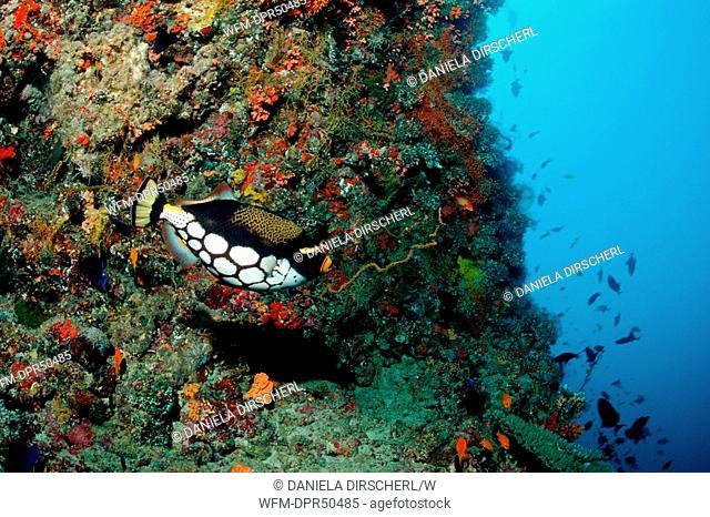 Clown Triggerfish, Balistoides conspicillum, Ellaidhoo House Reef, Ari Atoll, Maldives