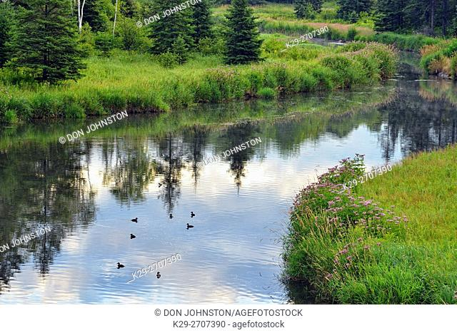 A flock of ducks loafing on Junction Creek, Greater Sudbury, Ontario, Canada