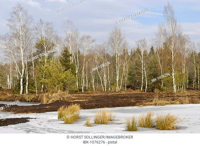 Frozen marsh pond at an abandoned peat pit with bulrushes, at back Downy Birch grove (Betula pubescens), near Raubling, Bavaria, Germany, Europe