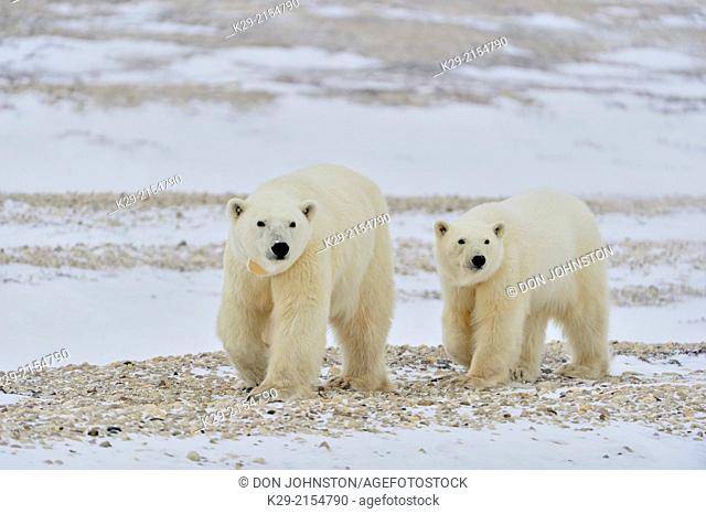 Polar Bear (Ursus maritimus) Mother and yearling, second-year cub, Wapusk NP, Cape Churchill, Manitoba, Canada