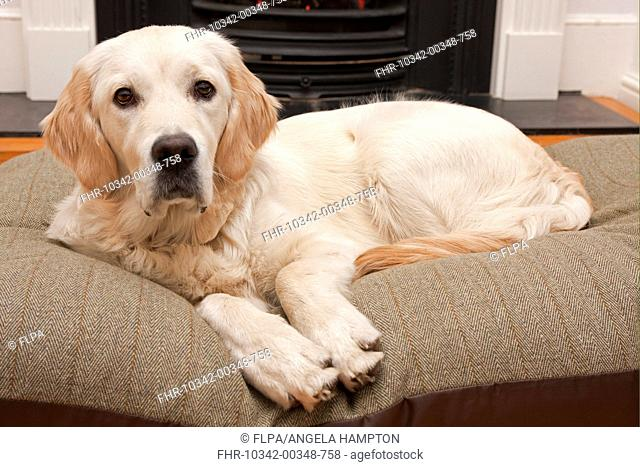 Domestic Dog, Golden Retriever, puppy, resting on cushion beside fireplace, England