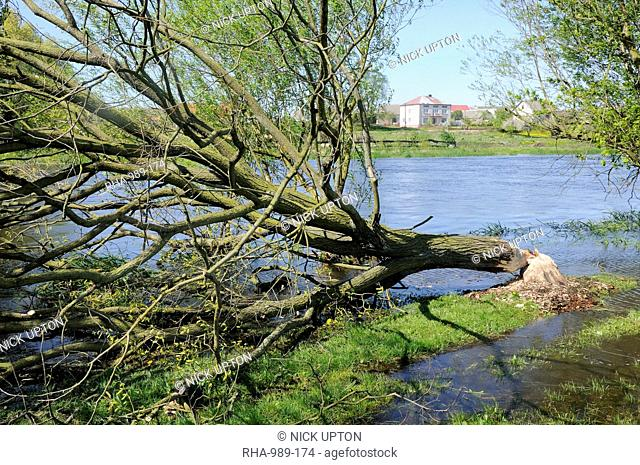 Tree felled by Eurasian beaver Castor fiber by Narew River close to Strekowa Gora village, Biebrza National Park, Poland, Europe