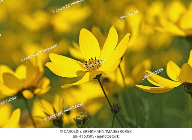 Large-flowered Tickseed (Coreopsis grandiflora)