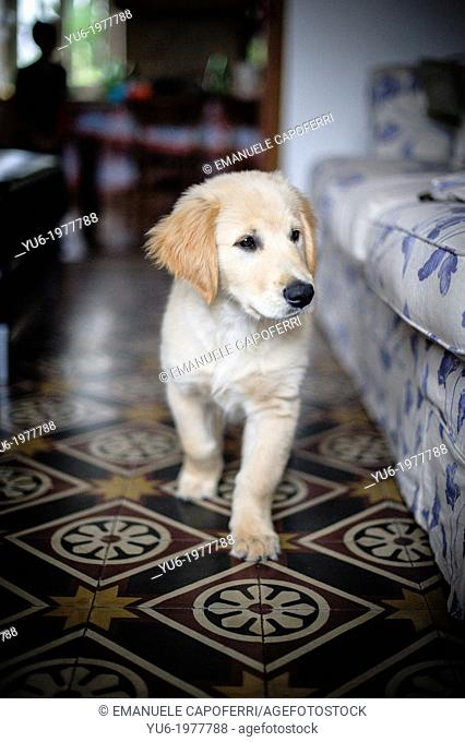 Golden Retriever puppy walking in the living room