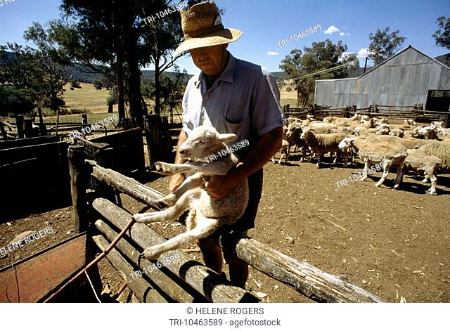 New South Wales Australia Farmer With Shorn Sheep