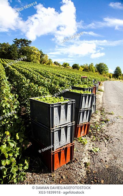 Crates of harvested grapes during the vendemmia near Epernay, Champagne, France