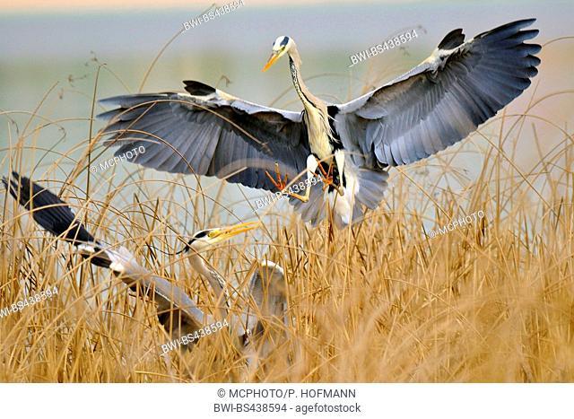 grey heron (Ardea cinerea), quarreling in a reed, Germany
