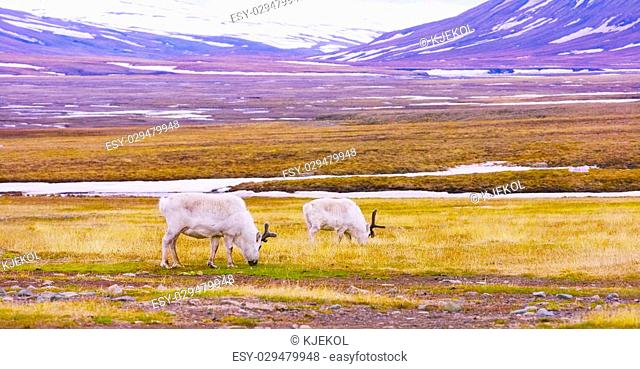 Reindeer eating grass in the advent valley - Adventdalen in Svalbard. Summer in the arctic environment near Longyearbyen